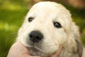 Sad snout of puppy golden retriever in a man's hand photo