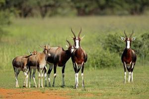 Bontebok antelopes photo
