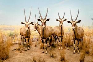 antilopes gemsbok