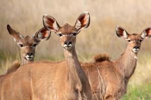 Kudu antelopes photo