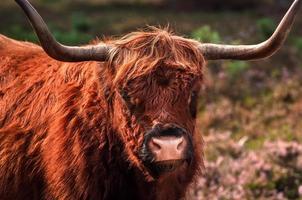 vaca de las tierras altas