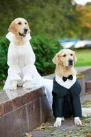 two golden retrievers dogs in clothing