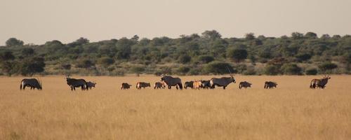 Gemsboks paissant dans le désert du Kalahari, au Botswana