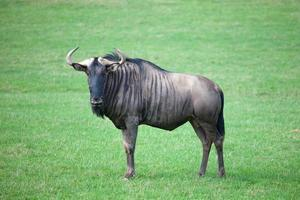 Wildebeest in savanna