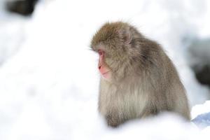 mono de nieve foto