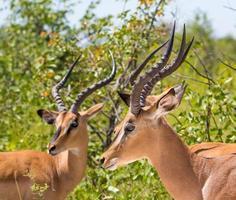 Black-faced Impala's