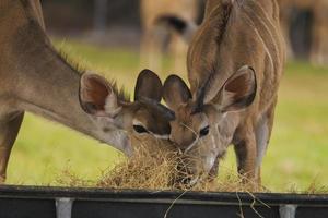 Pair of young kudu sharing food