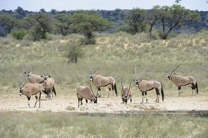 Gemsbok at waterhole