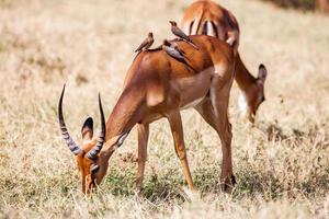 Birds sitting on impala antelope walking the grass landscape, Africa