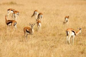 Thomsons gazelles grazing on grass of African savanna photo