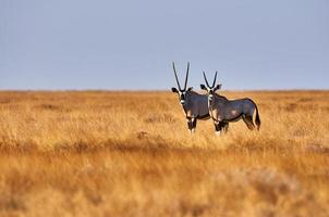 twee oryx in de savanne