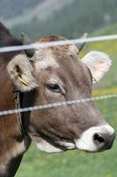 face of a cow photo