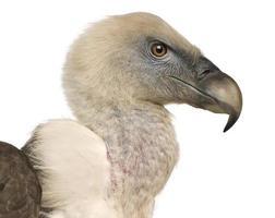 vautour fauve - gyps fulvus
