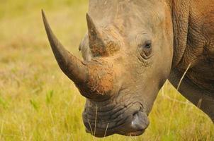 White Rhino - South Africa photo