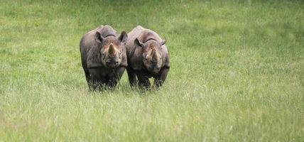rinoceronte preto diceros bicornis michaeli em cativeiro