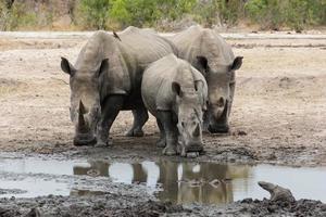 Rhinoceros photo