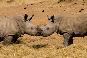 Baby rhinoceros kiss photo