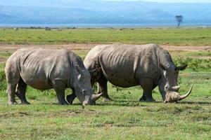 Two white rhinos photo