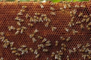 Honey bee frame from a hive with Colony Collapse Disorder