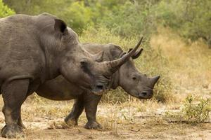 rinoceronte blanco foto
