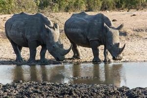 White Rhinoceros photo
