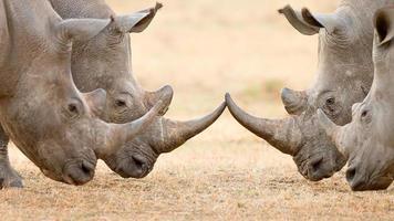 Four White Rhino's  locking horns photo