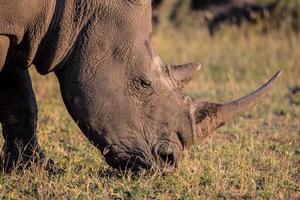 Retrato de un rinoceronte blanco en sol de día tardío foto