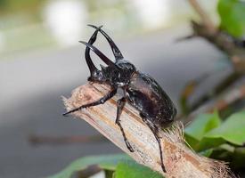 Giant rhinoceros beetle photo