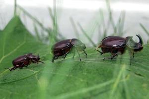 European rhinoceros beetle group
