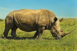 rinoceronte blanco macho foto