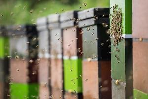 abejas melíferas en el trabajo, volando alrededor de sus coloridas colmenas foto