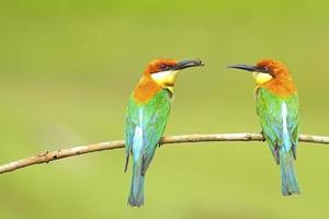 Chestnut-headed Bee-eater photo