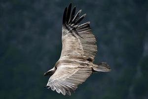 Griffon vulture over the canyon