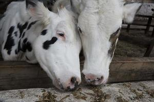 The Cows photo