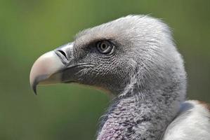 Portrait de vautour fauve