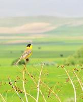 Yellow bird singing on a plant photo