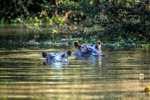 cabezas de hipopótamo foto