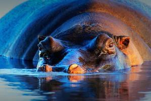 Hippopotamus  at sunset photo