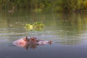hipopótamos - área de conservación de vida silvestre serengeti, safari, tanzania, foto