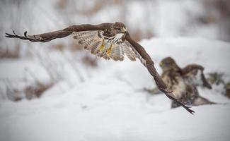 Buzzard fleeing from a fight photo
