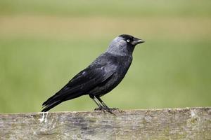 grajilla, corvus monedula