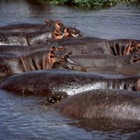 hippo photo