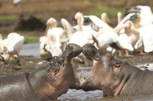 lucha de hipopótamos foto