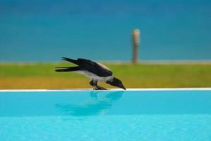 cuervo bebiendo agua
