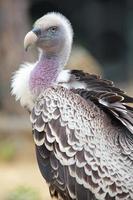 Portrait d'un vautour fauve de Ruppell
