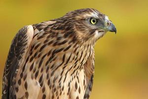 accipiter nisus over out of focus background photo