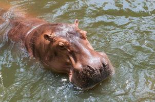 Hippopotamus in the pool