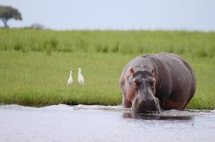parque nacional del chobe - botsuana foto