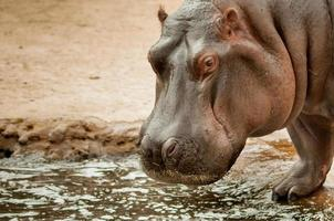 Hippopotamus standing by the pool