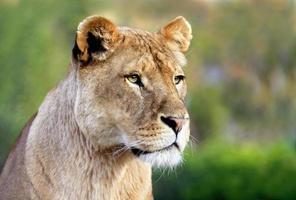Portrait of lioness photo